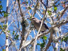 Free Mocking Bird On A Limb Royalty Free Stock Photos - 2352828