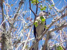 Free Mocking Bird On A Tree Limb Stock Photo - 2352850