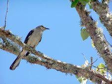 Free Mocking Bird On A Tree Limb Stock Photography - 2352892
