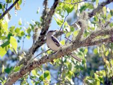 Mocking Bird On A Tree Limb Stock Images