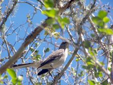 Mocking Bird On A Tree Limb Stock Photography