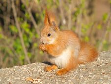 Squirrel Eats A Nut Royalty Free Stock Image