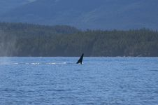 Free Male Orca Stock Photography - 2353772