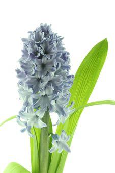 Free Hyacinths Royalty Free Stock Photos - 2353918