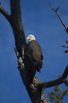 Free Bald Eagle Stock Image - 2354511