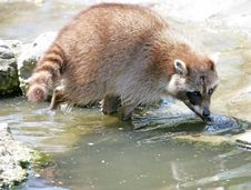 Free Racoon 3 Royalty Free Stock Image - 2356386