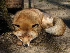 Free Red Fox Resting Stock Image - 2356581