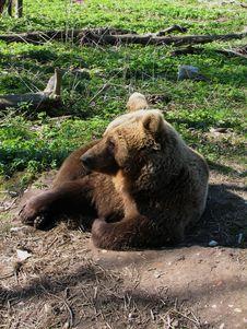 Free Sleepy Bear Royalty Free Stock Photo - 2356595