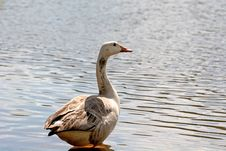 Free Goose At Rest Royalty Free Stock Image - 2356706
