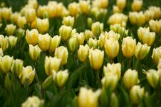 Free Many Yellow Tulips Stock Images - 2356854