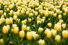 Free Many Yellow Tulips Royalty Free Stock Image - 2356906