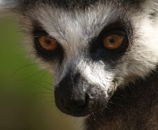 Free Lemur S Gaze Stock Photo - 2357150