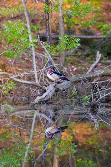 Free Wood Duck Reflected In Pond Royalty Free Stock Images - 2357899
