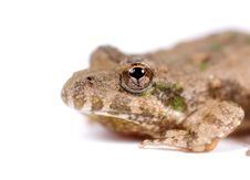 Free Macro Image Of Small Toad Stock Image - 2357931