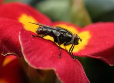 Free Housefly Sideway Royalty Free Stock Photography - 2358397