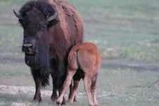 Free Bison Life Stock Photography - 2358852