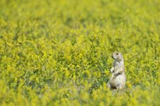 Free Chubby Prairie Dog Stock Images - 2358854