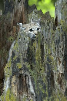 Free Bobcat Hiding Stock Photo - 2358860