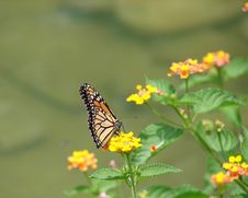 Free Monarch Butterfly Stock Images - 2358874