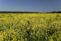 Free Rape Field Stock Photos - 23502603