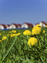 Free Spring Dandelions Next To The Village Stock Photo - 23502940
