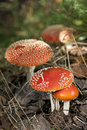 Free Fly Agaric Mushrooms Stock Image - 23509011