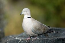 Free Dove Stock Photography - 23502702