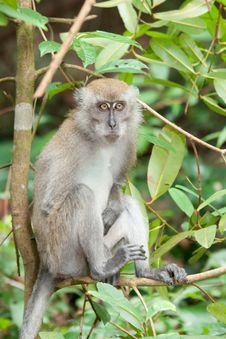 Free Macaque In A Tree Royalty Free Stock Image - 23505396