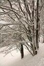 Free Snowy Trees Stock Photos - 23515233
