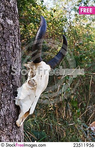 Free Skull Buffalo Royalty Free Stock Image - 23511956
