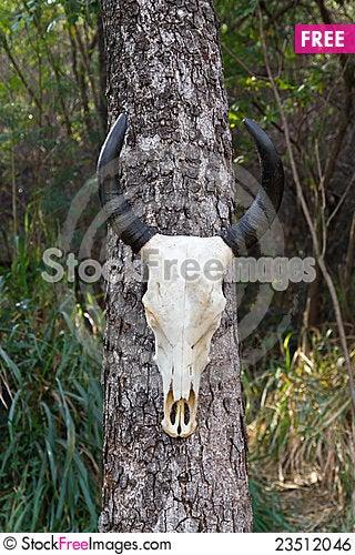 Free Skull Buffalo Royalty Free Stock Image - 23512046