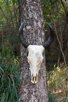 Skull Buffalo Royalty Free Stock Image