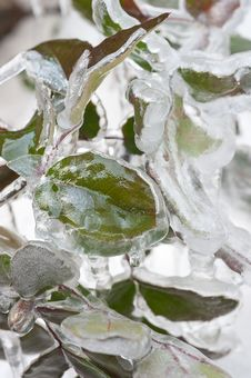 Free Frozen Leaves Royalty Free Stock Images - 23514469