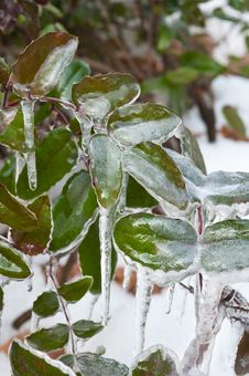 Free Frozen Leaves Royalty Free Stock Photos - 23514508