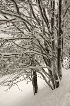Free Snowy Trees Stock Photos - 23515233