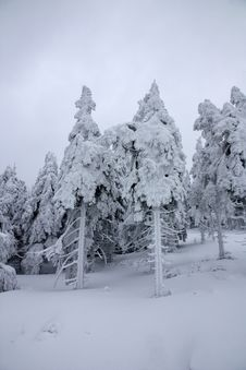 Free Snowy Trees Royalty Free Stock Photo - 23516205