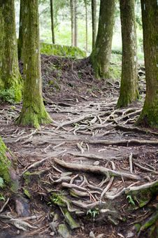 Tree Stem And Tree Root Royalty Free Stock Image