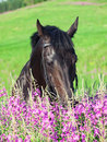 Free Portrait Of Nice Black Horse Near The Flowers Stock Photos - 23526673
