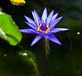 Free Purple Lotus Flower Blossoming. Stock Photo - 23529990
