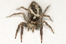 Free Jumping Spider Royalty Free Stock Photos - 23521228