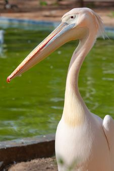 Free Pelican Royalty Free Stock Photo - 23524845