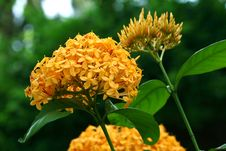 Free Ixora Yellow Flowers Stock Photography - 23524872
