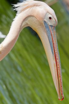 Free Pelican Royalty Free Stock Image - 23524906