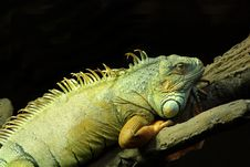 Free Green Iguana Stock Photo - 23529030