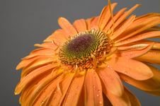 Gerbera With Drops Of Water On Petals Royalty Free Stock Photography