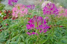 Free Cleome Spinosa Royalty Free Stock Images - 23529799