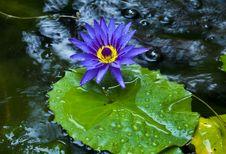 Free Purple Lotus Blossom. Royalty Free Stock Photos - 23529978
