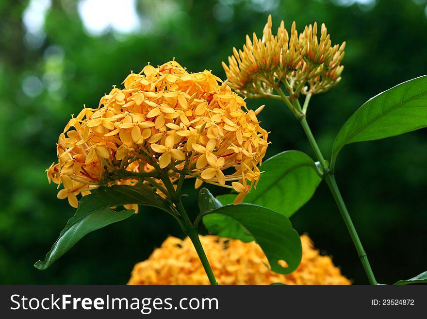Ixora yellow flowers