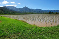 Free Taro Field In Kauai Hawaii, USA Stock Image - 23537911