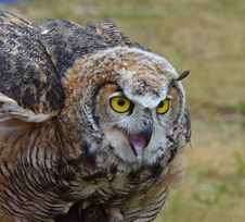 Free Horned Owl Stock Image - 23530361